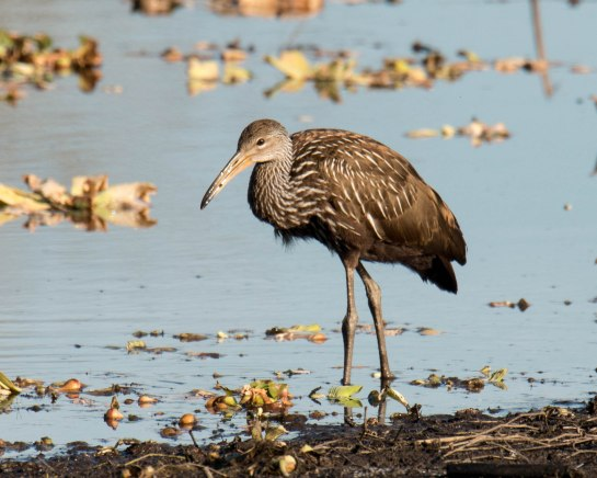 Limpkin (a new sighting for me)