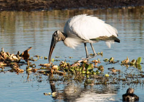 Wood Stork Searching for Breakfast