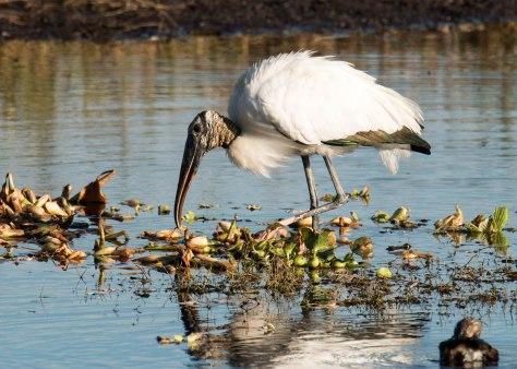 Wood Stork Searching for Breakfast