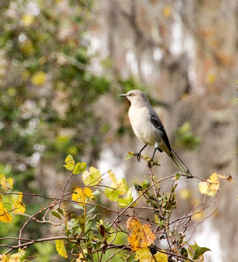 Posing Northern Mockingbird