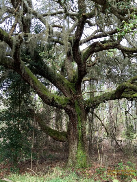 A Moss covered Oak Tree