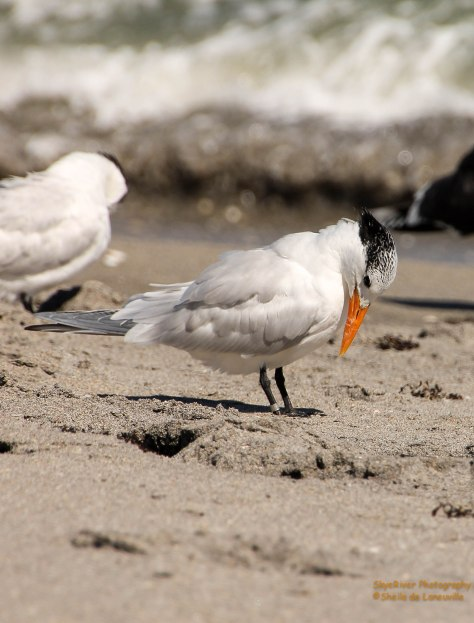 "This Royal Tern said, ""who put this thing on my leg?"""