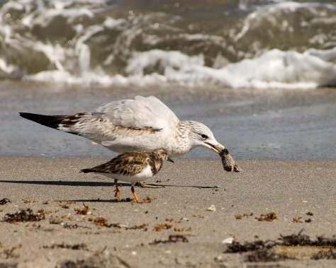 Ring-billed Gull and a Ruddy Turnstone