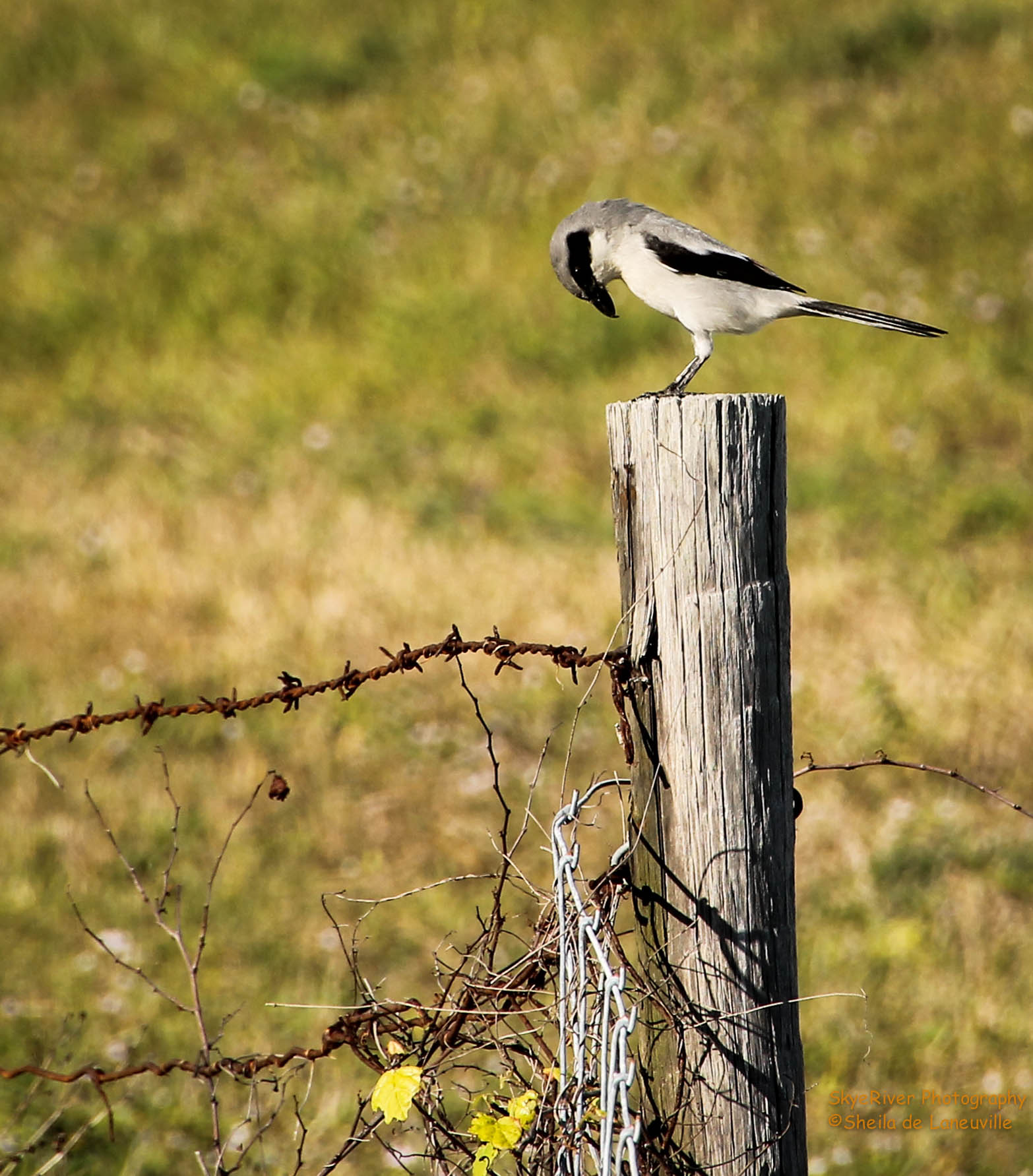 An old barbed wire fence wolf song