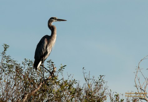 Great Blue Heron ( Myakka River State Park)