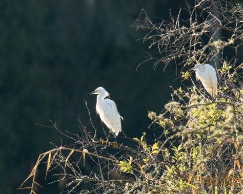 Snowy Egrets (Myakka River State Park)
