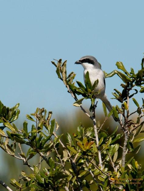 Loggerhead Shrike (near Myakka River State Park)