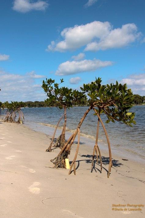 Mangroves on the Beach