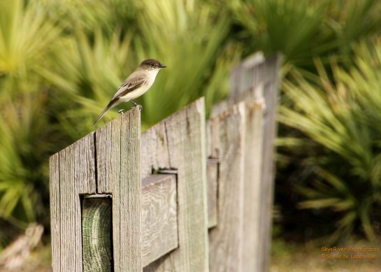 Eastern Phoebe, gray-brown above and whitish below