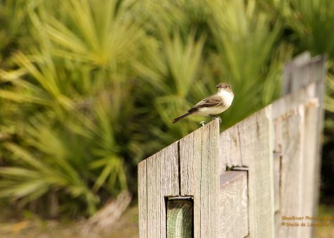 Flies out from perch, in this case a l ovely wooden fence, to catch insects.