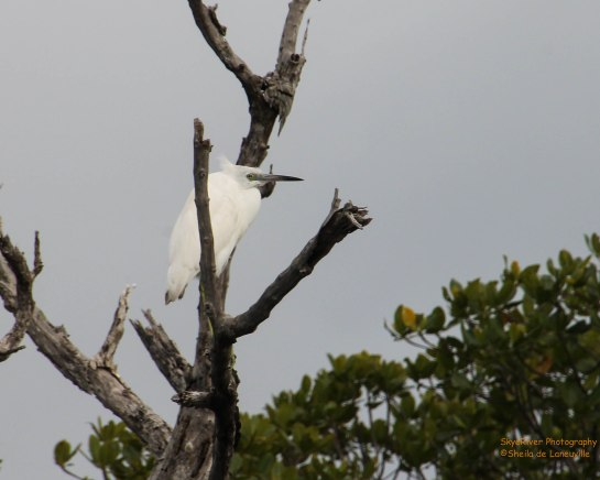 Great Blue Heron, White phase