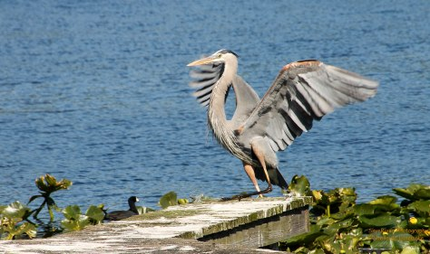 Smooth Landing (Great Blue Heron!