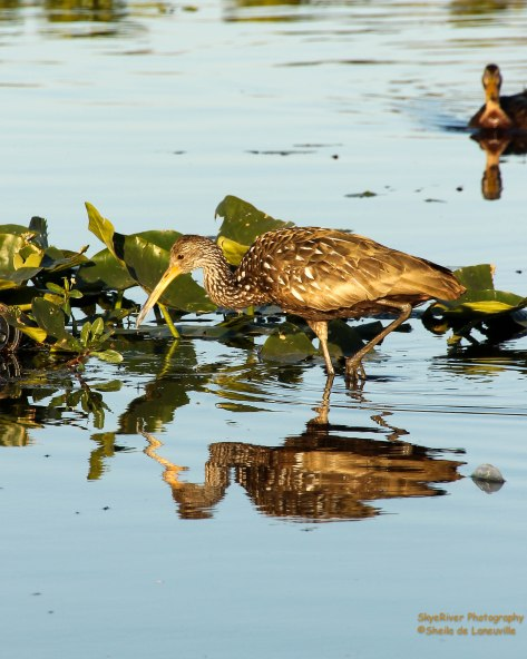 Limpkin (seen at Central Florida Fairgrounds while attending HamjCation/2015)