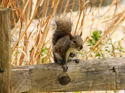 This little squirrel seemed to welcome us into Silver Springs. He jumped up on this fence and chatted away.