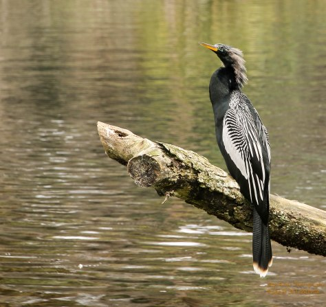 Anhinga. Silvery white spots and streaks on wings and upper back