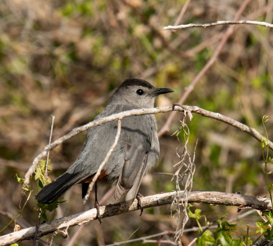 Gray Catbird, black cap and tail