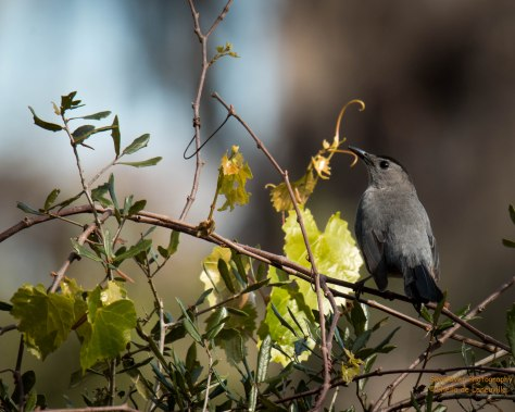 Gray Catbird, short dark bill