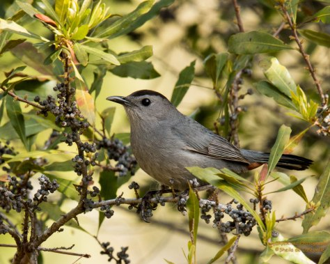 Gray Catbird, eats mostly mostly insects, spiders, berries and fruits