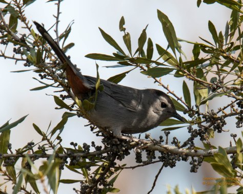Gray Catbird, reddish chestnut undertail coverts