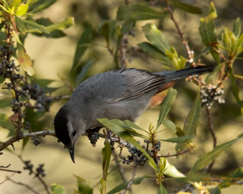 Gray Catbird, solitary or in pairs. However, I saw up to ten together
