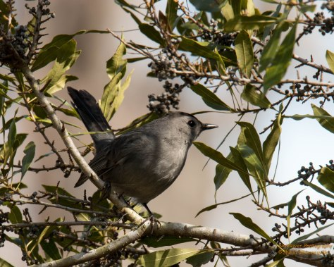 Gray Catbird, does not repeat phrases like other eastern mimic thrushes