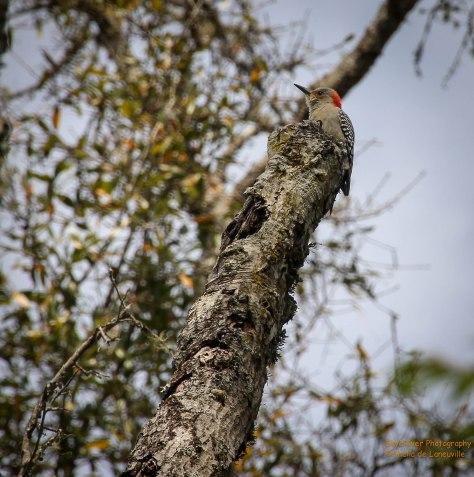 Red-bellied Woodpecker (female).