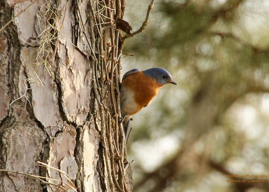 Eastern Blue Bird in breeding plumage.