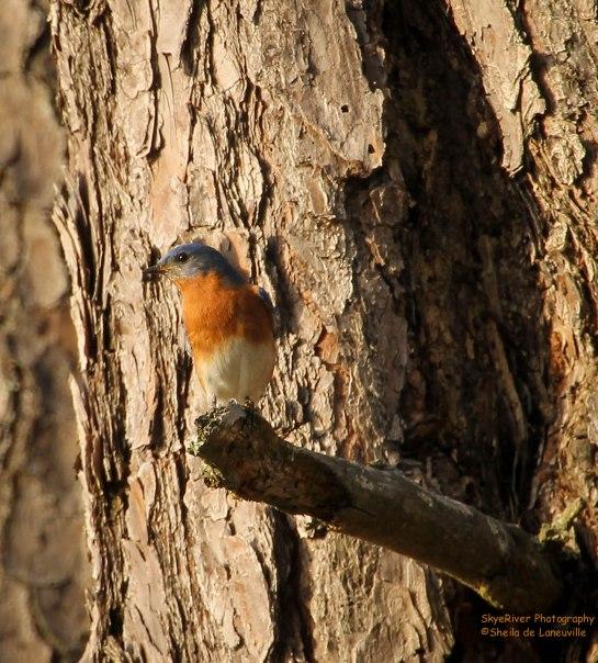 Male in breeding plumage