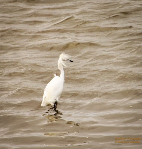 I bet this Snowy Egret wishes he was in another Time Zone.