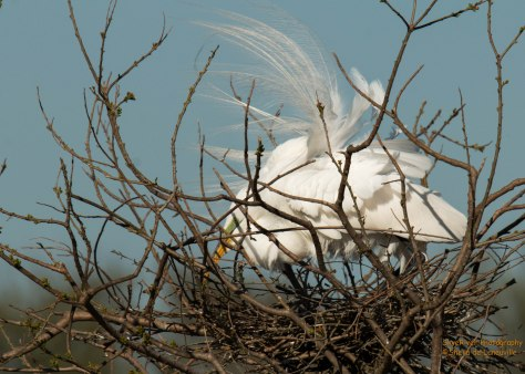 Displaying its gorgeous feathers and looking over the nest.