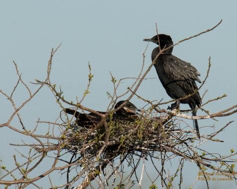 Nesting Neotropic Cormorant Pair