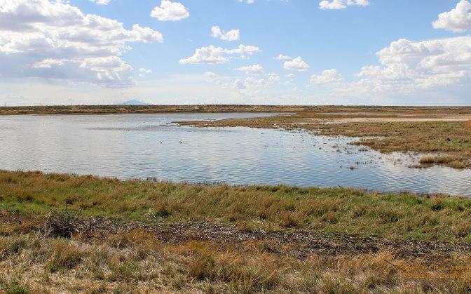 ~Black-necked Stilt at Bitter Lakes National Wildlife Refuge