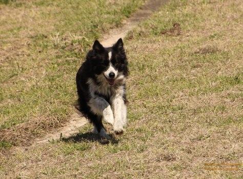 Annie, running in the pasture.
