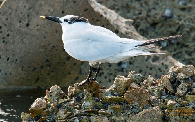 ~Sandwich Tern