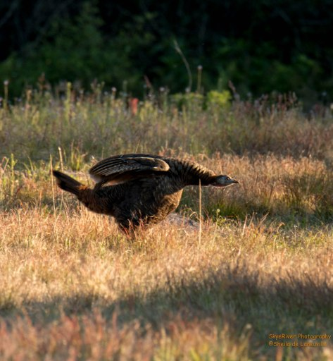 Fiesty Female  Wild Turkey