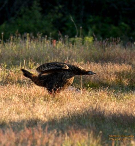 Fiesty Female  Wild Turkey