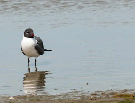 Laughing Gull - Adult Breeding