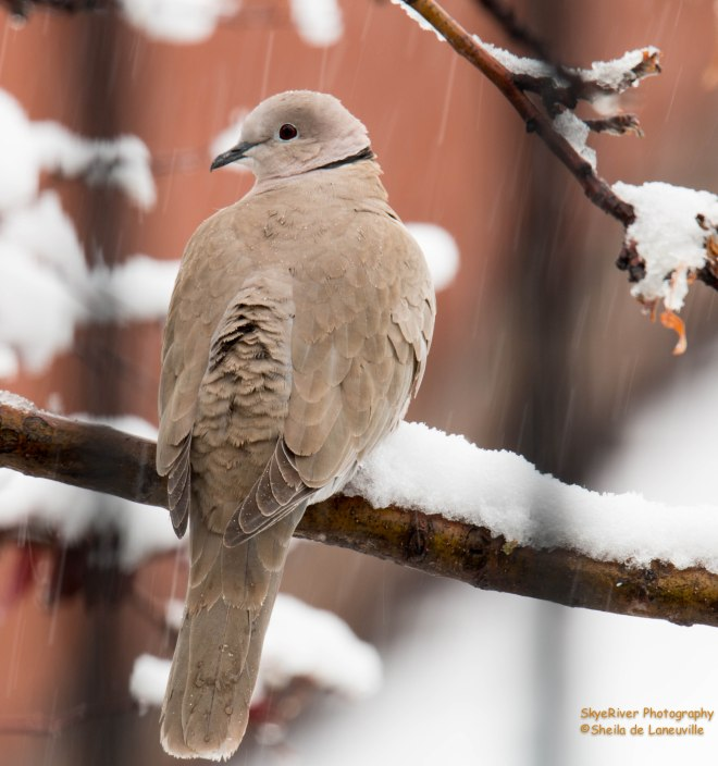 Dove trying to stay warm.