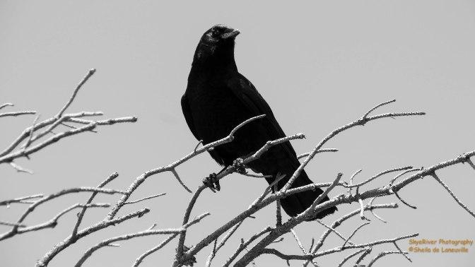 ~Common Ravens?
