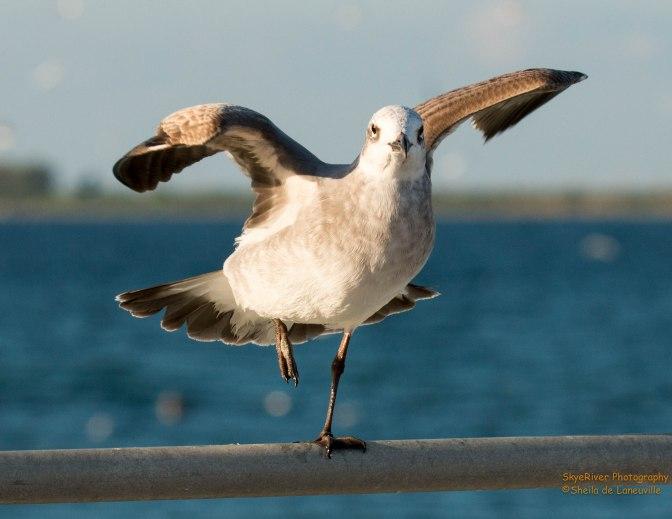 ~A Gull Struggles in the Wind