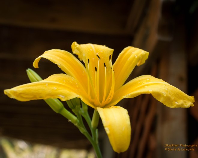 Day Lily-in yellow