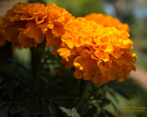 Marigold in Orange