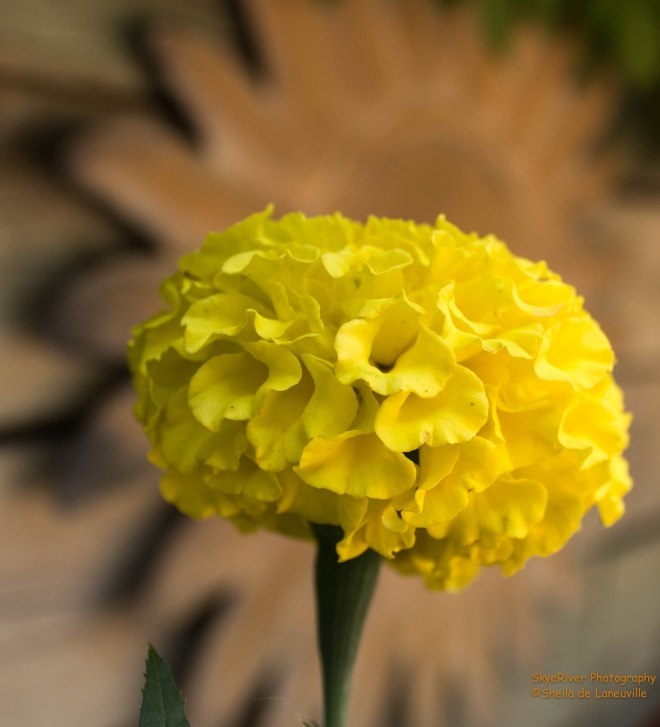 Marigold in Yellow