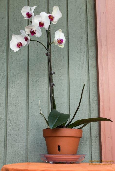My third Phalaenopsis Orchid