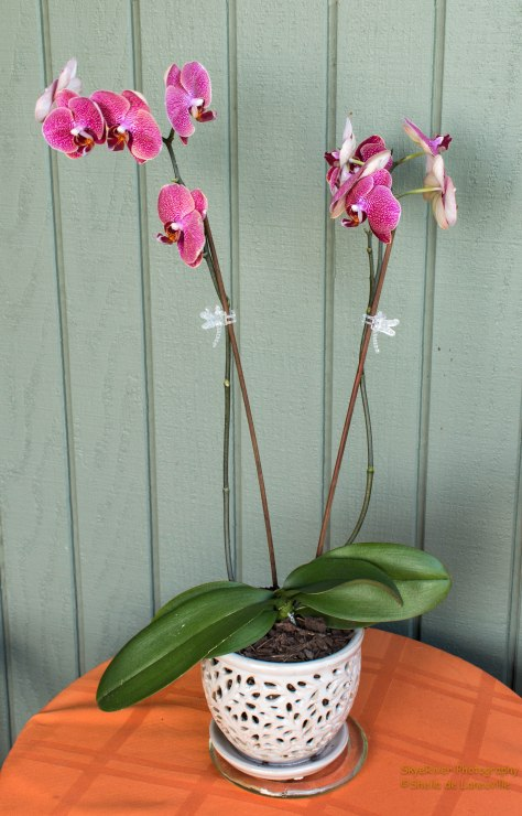 My second Orchid