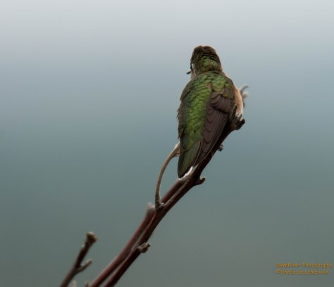 Broad-tailed Hummingbird (female)