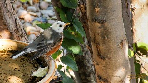 A White-headed American Robin