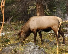 A Bull Elk spends his days alone, after the rut. A broken antler is his battle scar