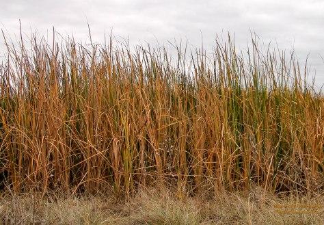 Grasses surrounding a pond
