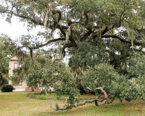 Beautiful old, Oak Ttee